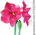 Beautiful pink flower amaryllis 27342294