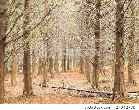 落羽松森林 27342779