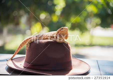 orange Iguana on hat 27351914