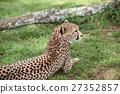 獵豹 27352857