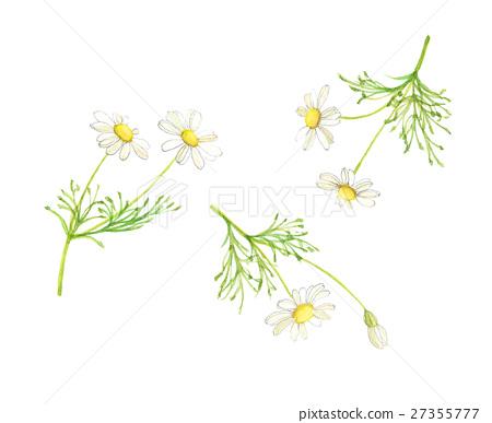 camomile, chamomile, chamomiles 27355777
