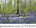 Spring blue bells flowers, trees in english forest 27359594