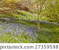 Blue bells, white wild garlic flowers in garden 27359598