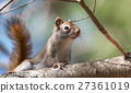 Cute Red squirrel, quick little woodland creature. 27361019