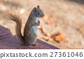 Standing red squirrel, paws tucked to chest. 27361046