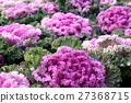 羽衣甘蓝 植物 植物学 27368715