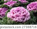羽衣甘蓝 植物 植物学 27368716