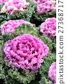 羽衣甘蓝 植物 植物学 27368717