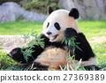 熊貓 動物 哺乳動物 27369389