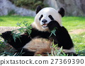 熊猫 动物 哺乳动物 27369390