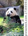 熊貓 動物 哺乳動物 27369391