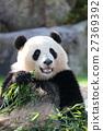 熊貓 動物 哺乳動物 27369392
