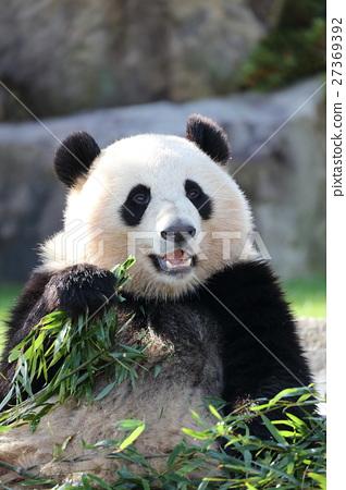 熊猫 动物 哺乳动物 27369392