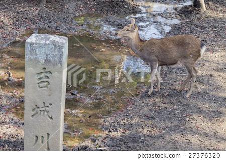 奈良公園中可愛的鹿及著名的東大寺 27376320