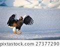 堪察加海鷹 海鷹 恆星的海鷹 27377290