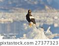 堪察加海鷹 海鷹 恆星的海鷹 27377323
