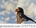 堪察加海鷹 海鷹 恆星的海鷹 27377325