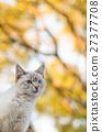 cat, pussy, autumn 27377708