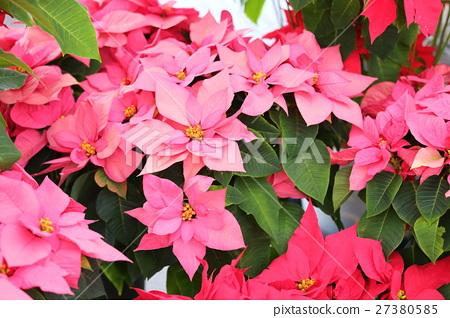 포인세티아 꽃 27380585