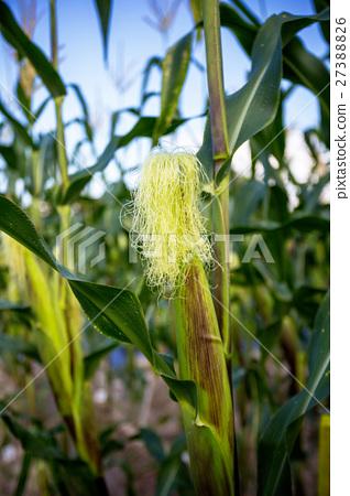 corn cob in the garden 27388826