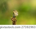 Wood warbler (Phylloscopus sibilatrix) in summer 27392963