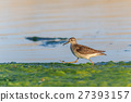 black tailed godwit 27393157