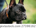 Young Black French Bulldog Dog In Green Grass 27396162