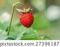 Red Wild Strawberries, Wild Strawberry. Growing 27396187