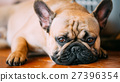 The French Bulldog is a small breed of domestic 27396354