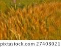 農作物 麥穗 豐收 27408021