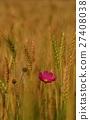 小麥 27408038