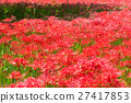 cluster amaryllis, red spider lily, bloom 27417853