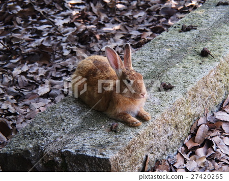 兔子在Okunoshima(Usagi岛) 27420265
