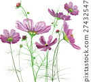 Vector garden flowers, Cosmos bipinnatus 27432547