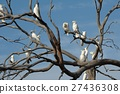 Cockatoos on a tree 27436308
