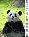 熊猫 大熊猫 吃 27437020