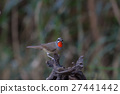 Beautiful of Siberian Rubythroat Bird 27441442