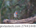 Beautiful of Siberian Rubythroat Bird 27441448