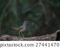 Beautiful of Siberian Rubythroat Bird 27441470