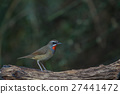 Beautiful of Siberian Rubythroat Bird 27441472