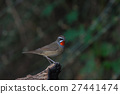 Beautiful of Siberian Rubythroat Bird 27441474