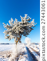 Single frozen pine next to rutted road 27443061