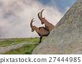 Ibex , Range of Mont-Blanc , French Alps 27444985