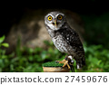 closeup of spotted owlet 27459676