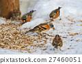 ฤดูหนาว,หิมะ,เมล็ดพันธุ์ 27460051