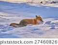 ezo red fox, fox, winter 27460826