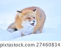ezo red fox, fox, winter 27460834