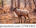 Horned Reindeer at zoo 27461802