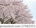 ดอกซากุระบาน,ซากุระบาน,ดอกไม้บานเต็มที่ 27462551