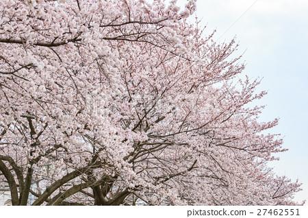 樱花 樱桃树 盛开 27462551